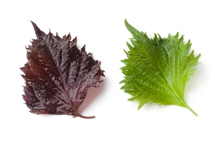 The shiso plant comes in both red and green varieties.