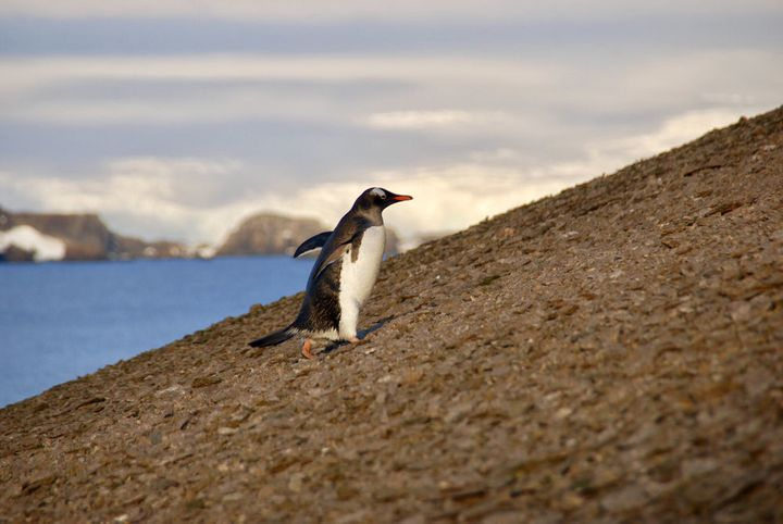 Gentoo penguins climbing slopes to the nesting colony on Ardley Island.