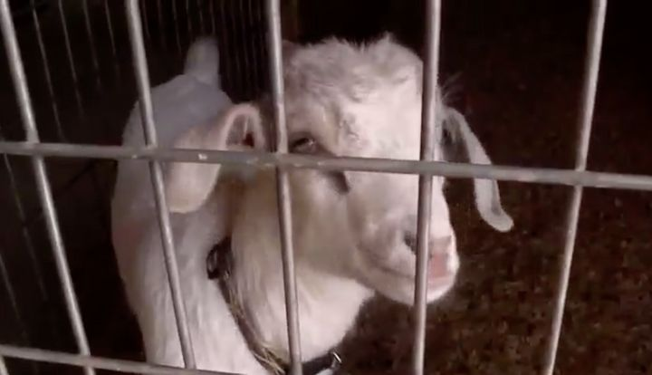 Speedy the goat is a real hero after warning his owners about a fire in their garage.
