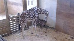 April The Giraffe Finally Gives