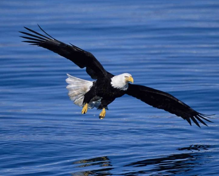 A Bald Eagle soars over water.