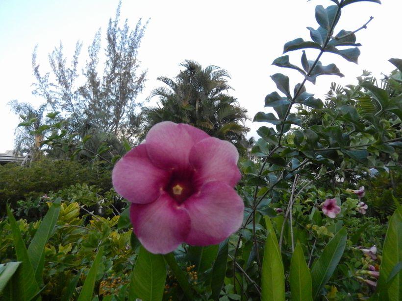 <em>Allamanda in soulful Bajan Purple growing along Cynthia O'Hara's winding garden path on the grounds of the Coral Reef Clu