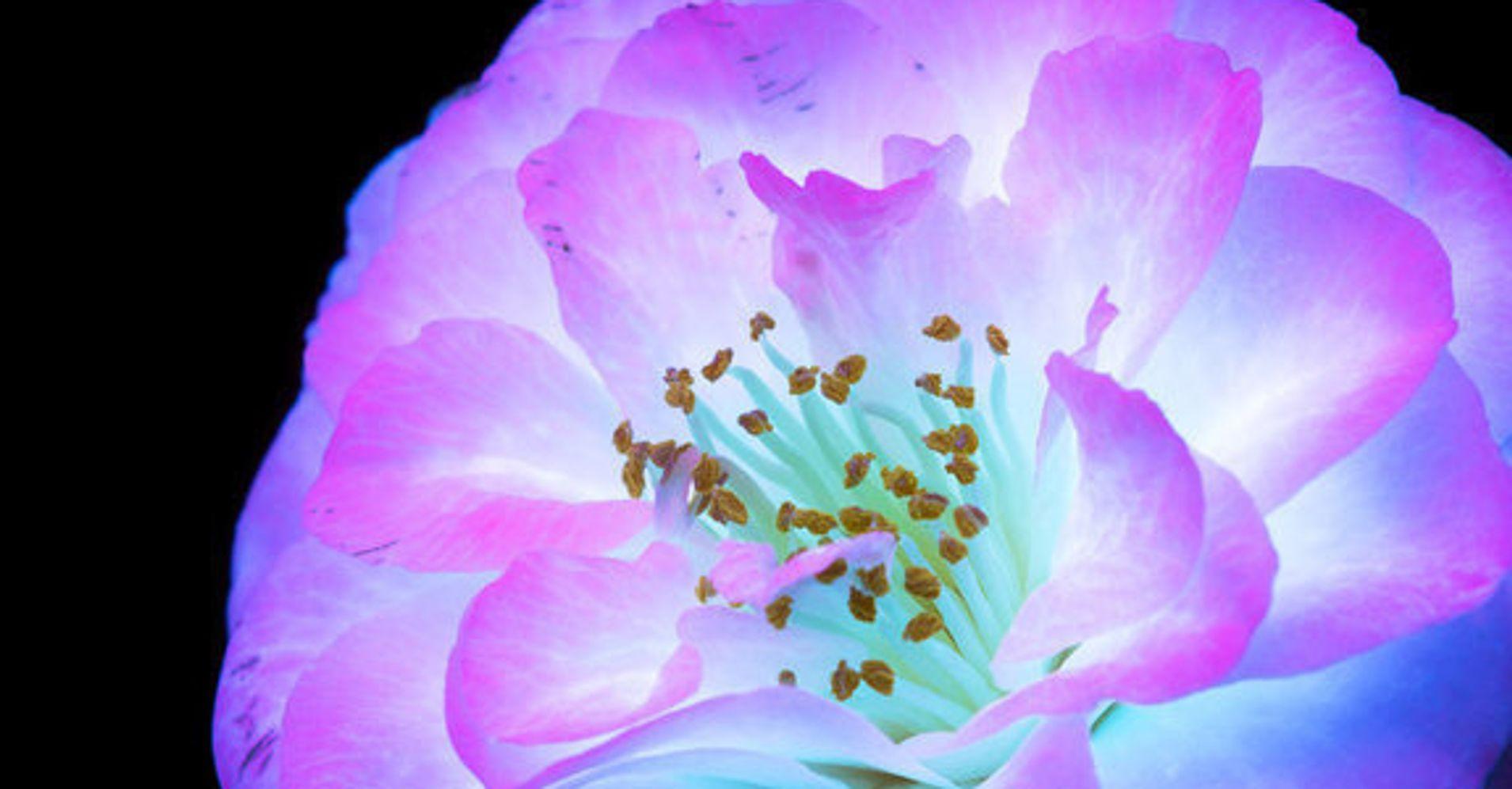Amazing photos capture how flowers look under ultraviolet light amazing photos capture how flowers look under ultraviolet light huffpost izmirmasajfo