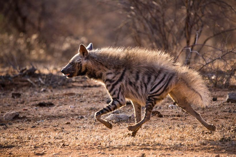 A rare striped hyena sprints across the Samburu landscape.