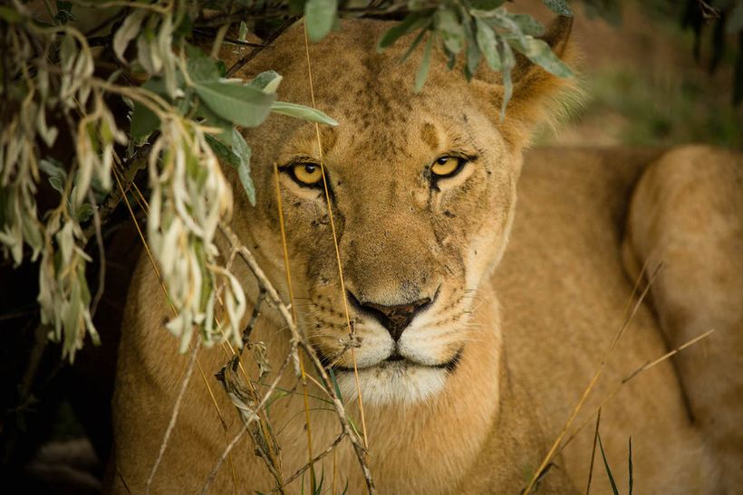 A lioness waits out the storm.