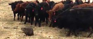 BEAVER COWS