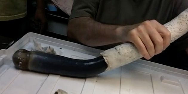The giant shipworm is removed from its