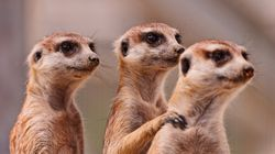 Meerkats Living In Captivity Are At Great Risk Of