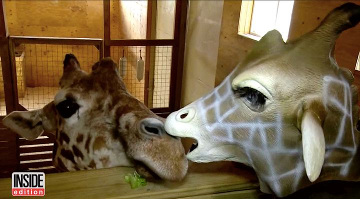 Petition started to name April's calf after 'Giraffe Mom's' baby boy