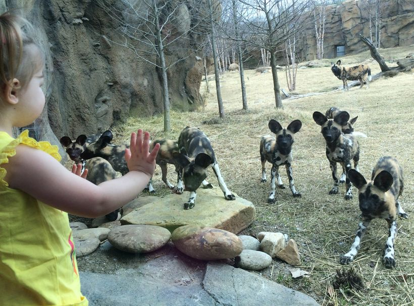 Visitors get face to face with African painted dogs in Painted Dog Valley