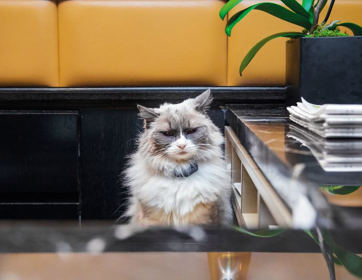 """Matilda of the Algonquin Hotel in Manhattan. Having a resident""""Algonquin cat"""" is a longstanding tradition at the hotel."""