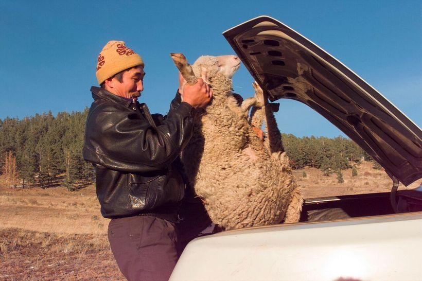 Buyanto the farmer captures a sheep in Galtai, 1995