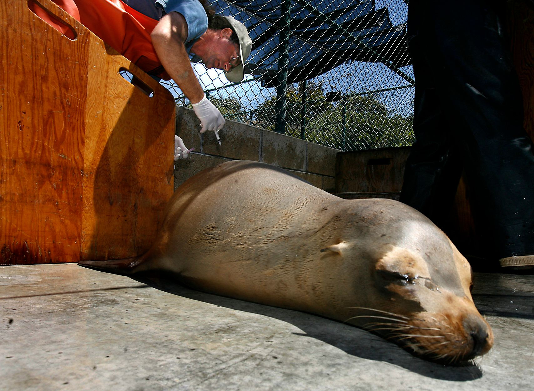 San Pedro, Ca. – David Bard, Operations Director at the Marine Mammal Care Center in San Pedro, injects a sea lion suffering from seizures related to domoic acid poisoning with an anti–convulsive drug while the animal rehabilitates from the effects of the poisoning. Several sea lions were in recovery at the center on Wednesday.  (Photo by Rick Loomis/Los Angeles Times via Getty Images)
