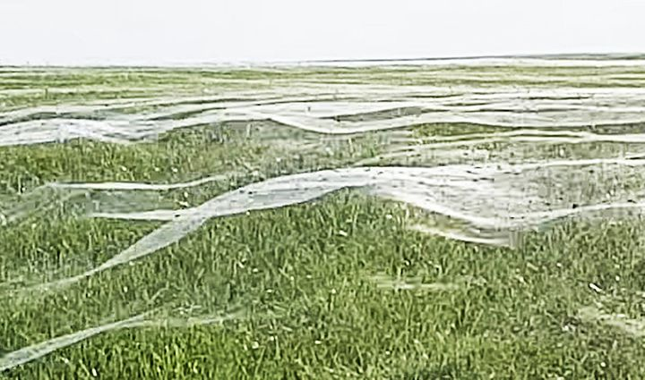 Layers of spider webs cover a field in New Zealand.