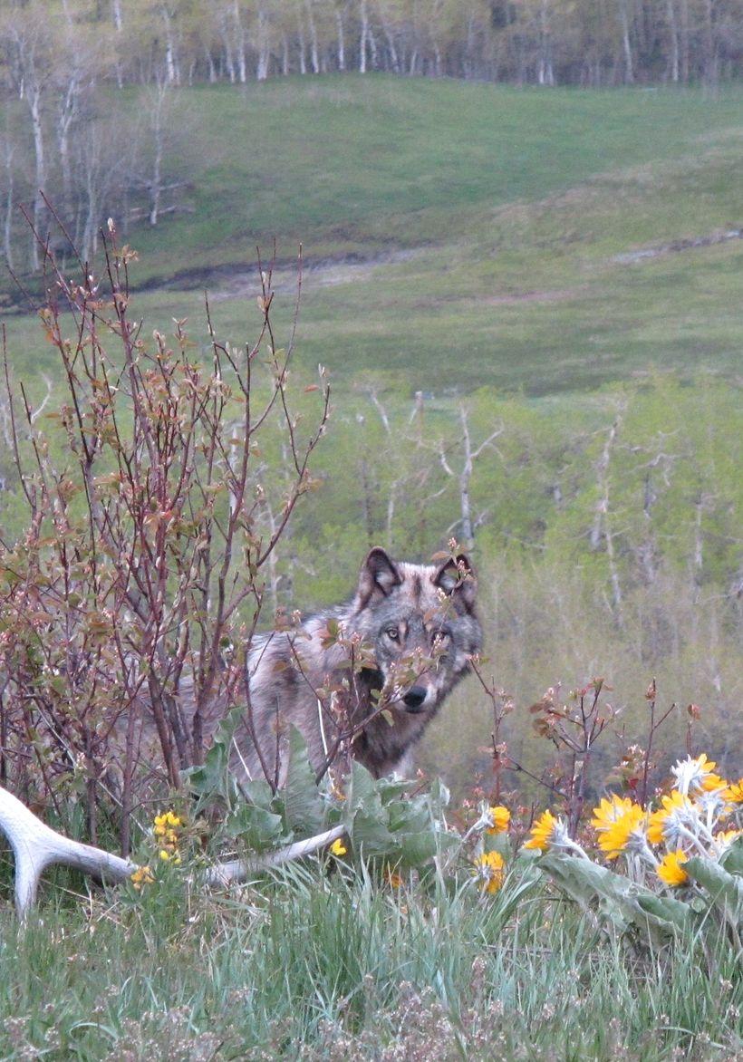 Wolf on Alberta Ranchland