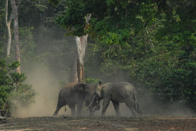 African forest elephants have been taking a beating, down 65 percent in a decade due to ivory trade.