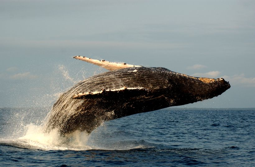 Scientific inquiry into humpback whales helped the public think of these magnificent marine mammals as intelligent, complex c