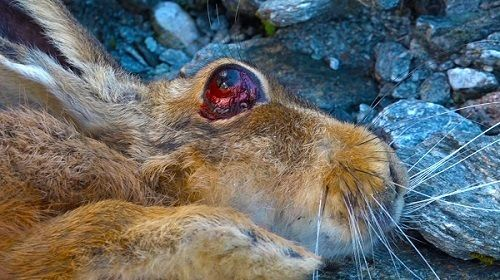<em>Hare poisoned during Mt. Aspiring 1080 drop,</em>