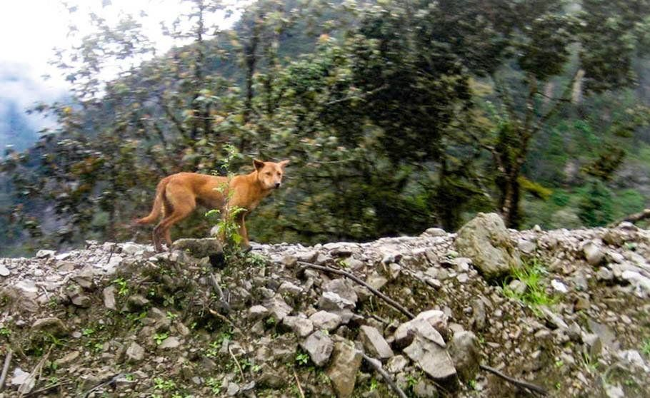 A wild dog photographed in the highlands of New Guinea in September 2016. The animal had long been