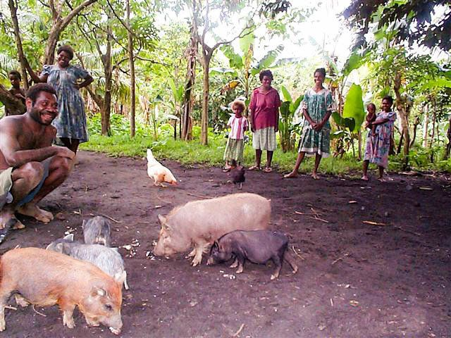 Intersexual pigs in Vanuatu.
