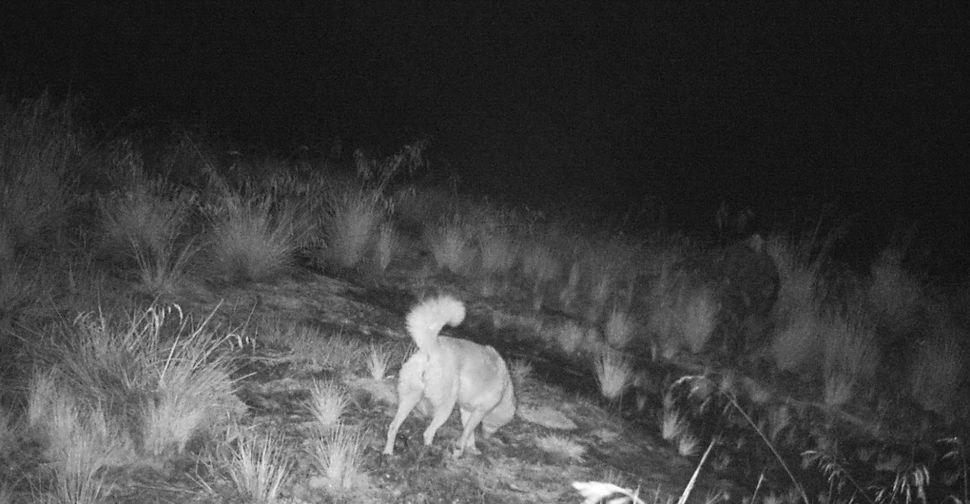 A pregnant female caught wandering around at night.