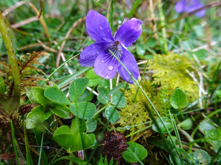 <p>Purple Orchid in the Burren </p>