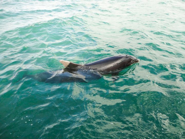 <p>Fungie the Dingle Dolphin </p>