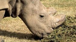 He's The Last Male Northern White Rhino On Earth, And He's Now On