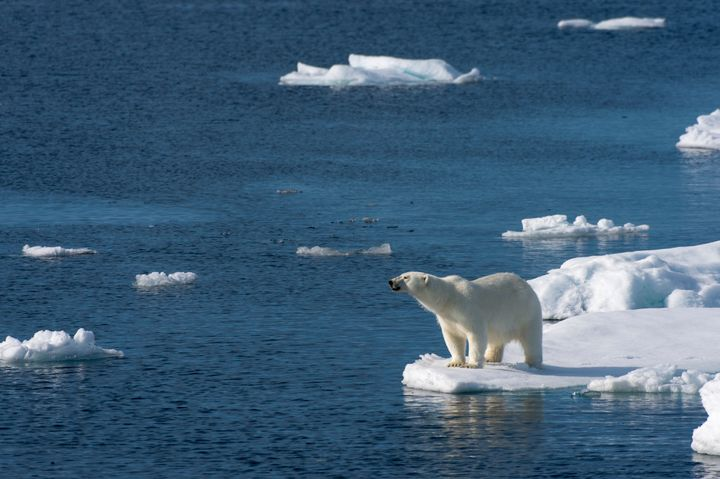 A polar bear looks for food at the edge of the pack ice north of Svalbard, Norway.