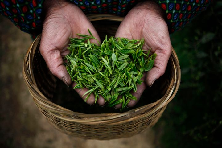 Freshly picked tea leaves.