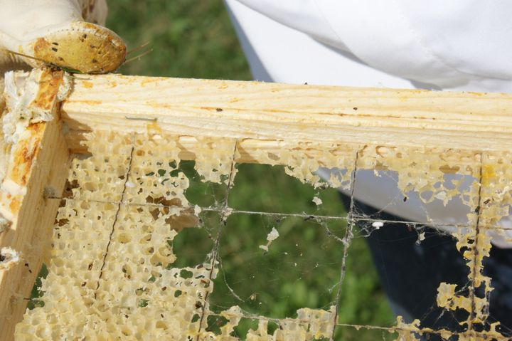 Wax worms are parasites that destroy beehives by eating away its wax, as seen here. Both beeswax and polyethylene plastic are polymers.