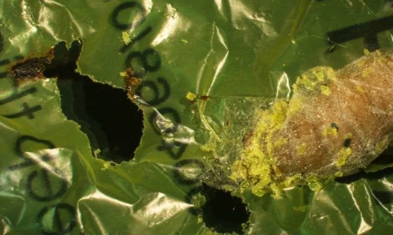 A wax worm is seen eating a plastic bag during an experiment.