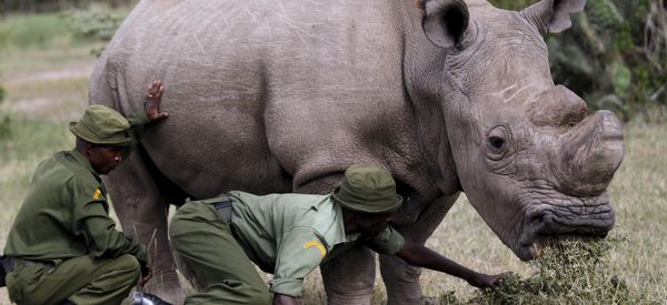 Kenya's Last Northern White Rhino Joins Tinder