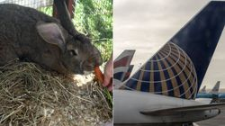 United Airlines Faces Latest PR Disaster After Huge Rabbit Dies On London