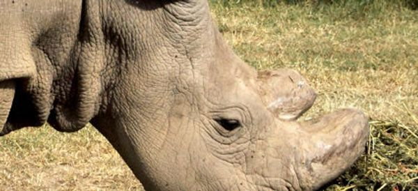 Why The Last Male Northern White Rhino Has Joined Tinder