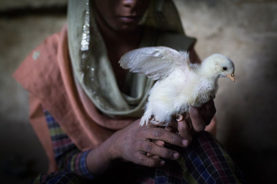 "Anisha holds a chicken in her home in Haryana, India. Aisha is daughter of a ""paro"": a women who was trafficked and sold as a"