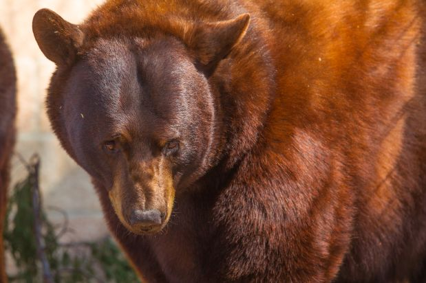 Bubba the bear was one of the animals euthanized, according to the sanctuary.