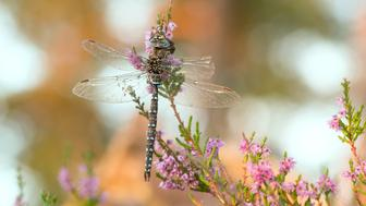 Digital photo of a male moorland hawker, Aeshna juncea resting on heather. This insect belongs to the Aeshnidae family.