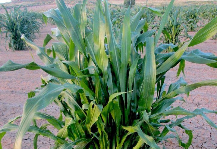 Corn thriving in dry soil