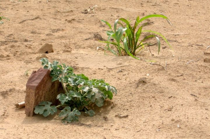 A crop hides behind a rock.