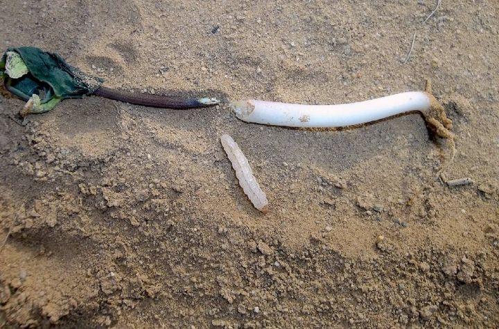 Worm damage