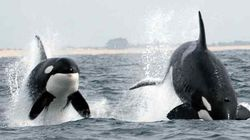 Grey Whale Battles For Calf's Life With Orcas On
