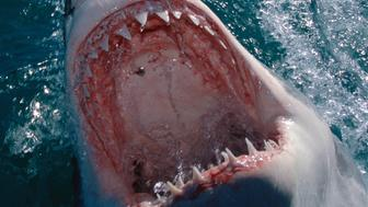 Great White Shark Extreme Close-Up Mouth Wide Open, Out Of Ocean Jawing Carcharodon Carcharias