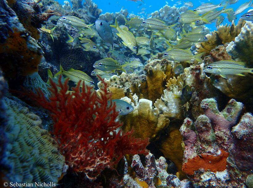 Juvenile fish find refuge in a reef in Barbados.