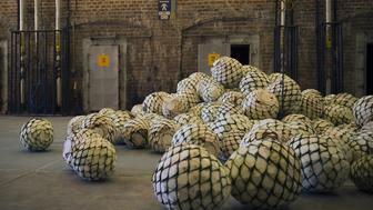 Weber Blue agave pine cones, called pinas, sit at the Patron Spirits Co. distillery in Atotonilco El Alto, Jalisco, Mexico, on Tuesday, April 4, 2017. The Trump administration is looking to re-examine the North American Free Trade Agreement in a move that has jarred sellers of Mexican products. Tequila is specifically protected under Nafta, and the spirit can only carry that name if it's made from 100 percent Weber Blue agave in the Jalisco region of Mexico. Photographer: Hector Guerrero/Bloomberg via Getty Images