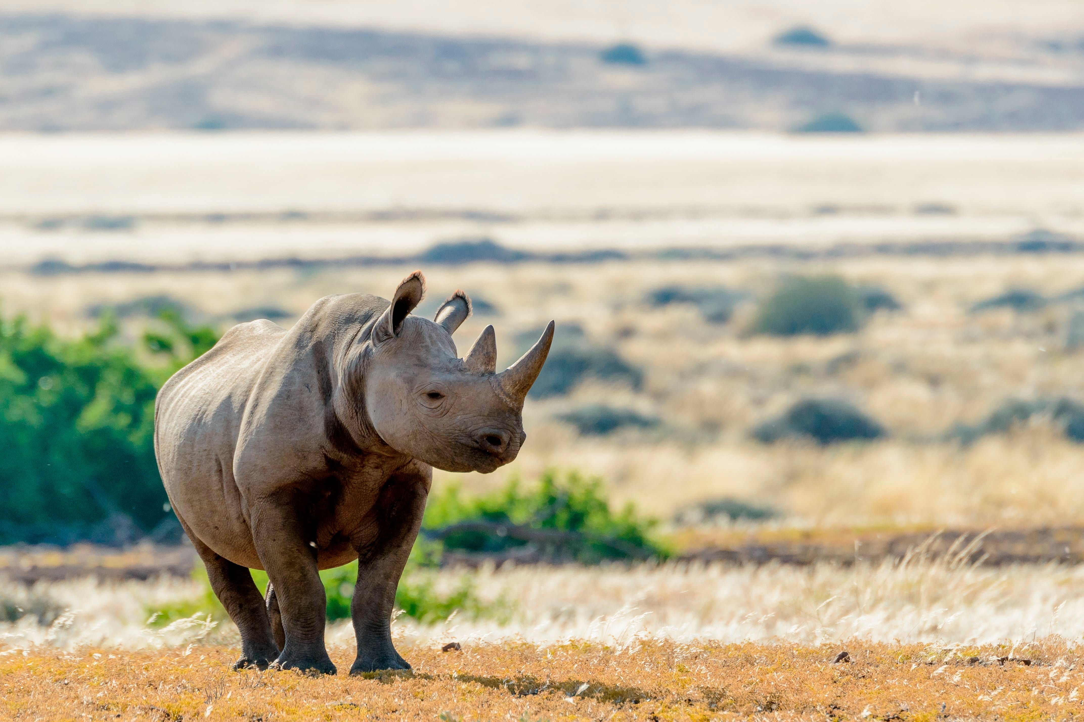 South Western Black Rhinoceros or Hook-lipped Rhinoceros (Diceros bicornis occidentalis),  Desert Rhino Camp, Palmwag Concession, Namibia. (Photo by: Education Images/UIG via Getty Images)