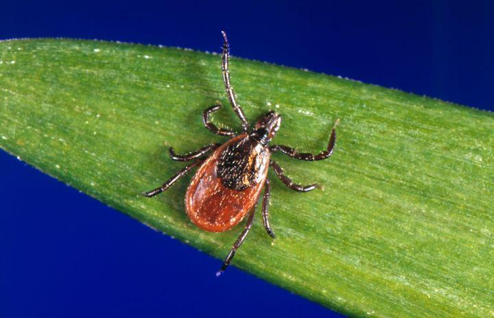 Black-legged ticks are the main carriersofLyme disease.