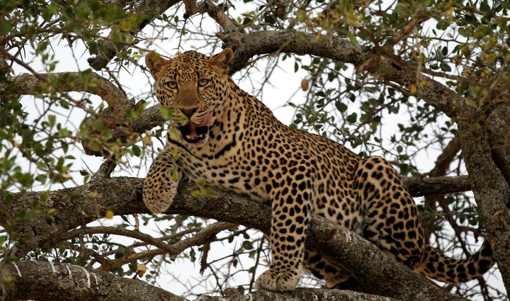 A leopard sits on a tree branch in a nature reserve hours away from the Utut Forest.