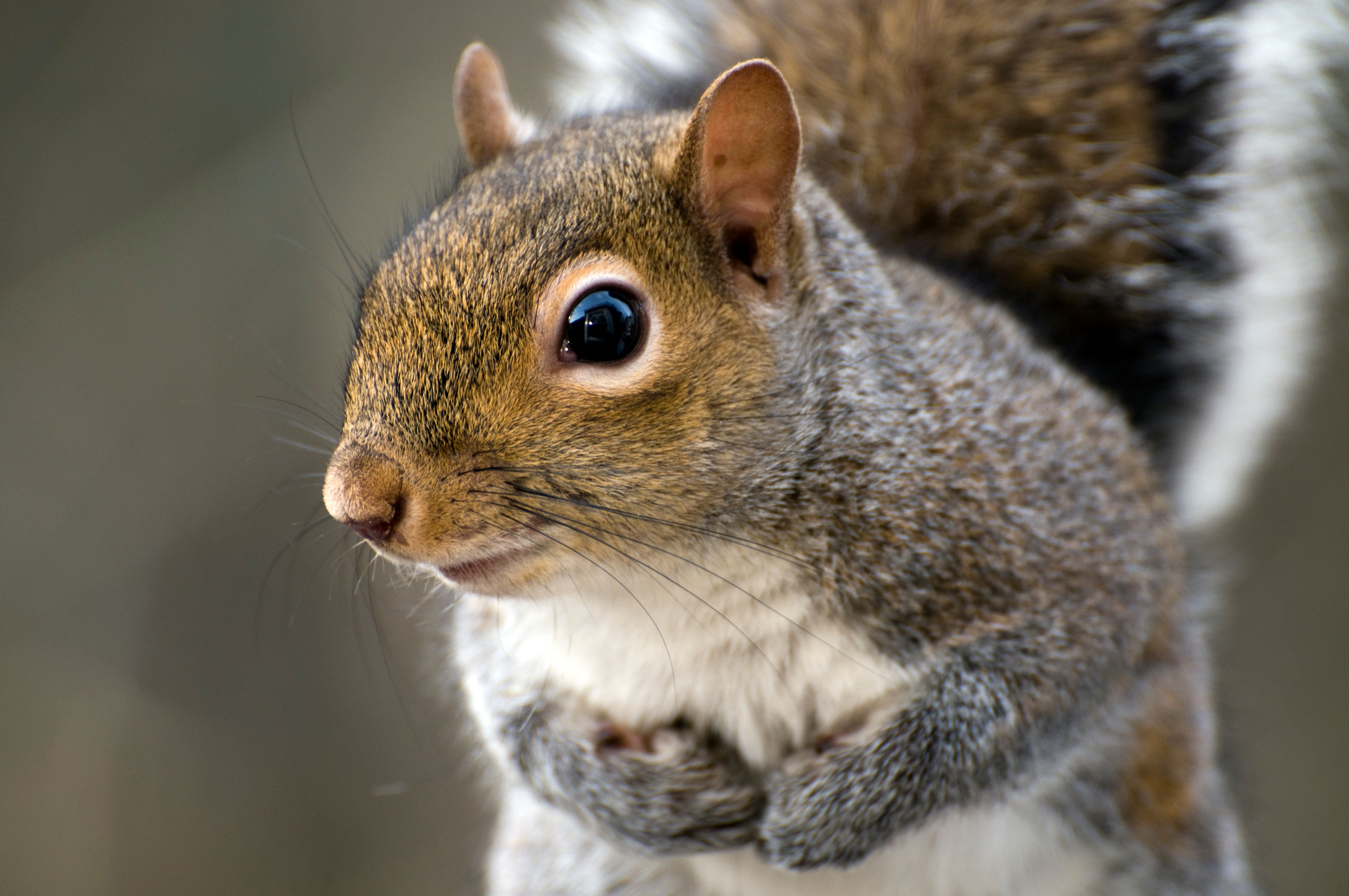 Closeup of an  Eastern Gray Squirrel (Sciurus carolinensis).Other images in this series: