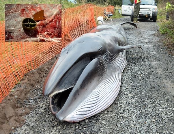 Sei whale calf found stranded in Druridge Bay in 2013 with plastic debris in its stomach (pictured top left)